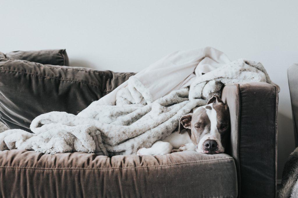 Cómo limpiar el sofá - perro en sofá con mantas